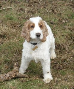 harry the spaniel with his stick