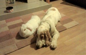cocker spaniel and rabbit lying