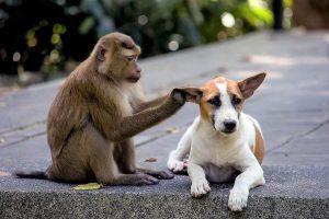 monkey inspects dogs ear