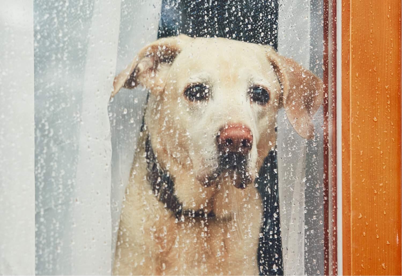 sad labrador pet loss