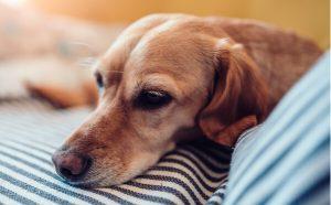 sad dog lies on sofa