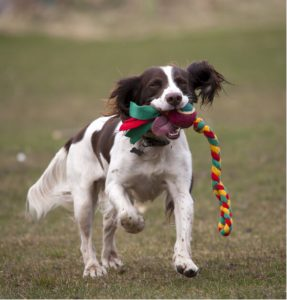 spaniel running with toy in mouth