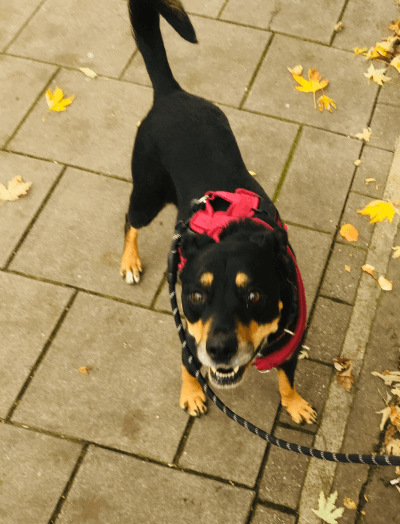 Roxy the rotttweiler streetvet