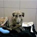 a rescue lurcher with bandaged paw at stokenchurch dog rescue
