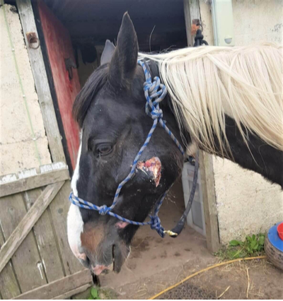 black and white pony with face wound