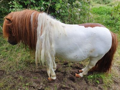 brown and white overweight pony Gabriel with matted mane