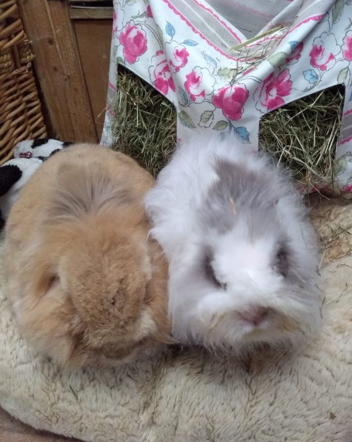 two guinea pigs at marias animal shelter