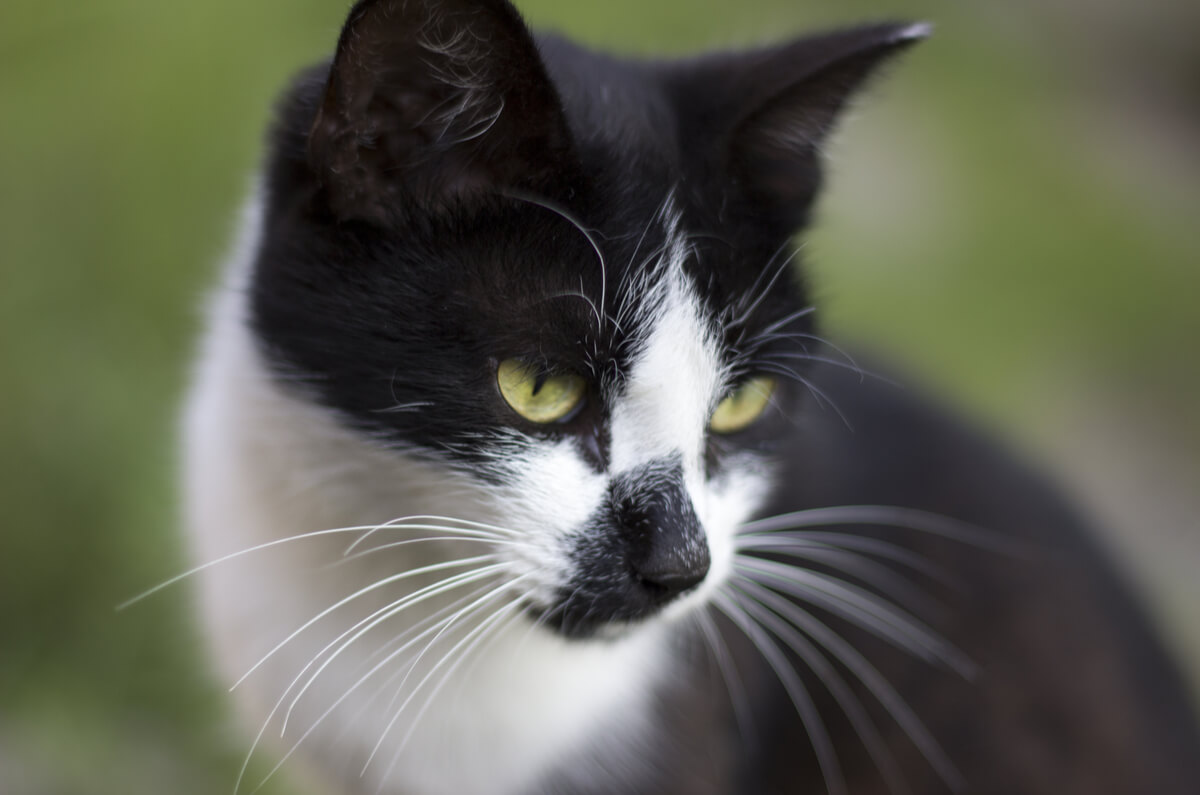 close up of a young black and white cat