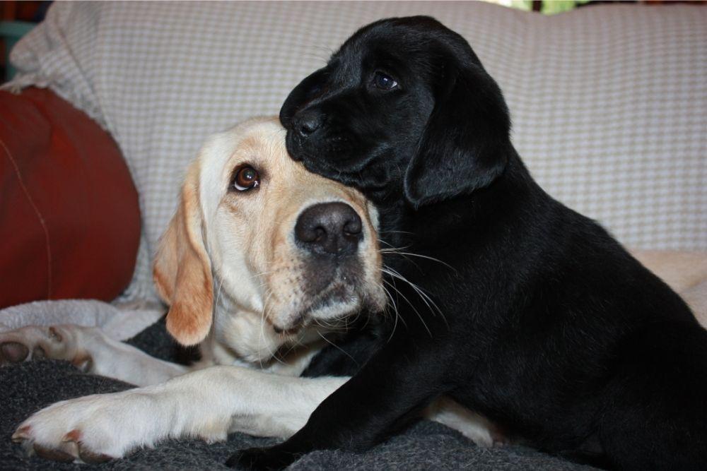black labrador puppy cuddles older golden lab