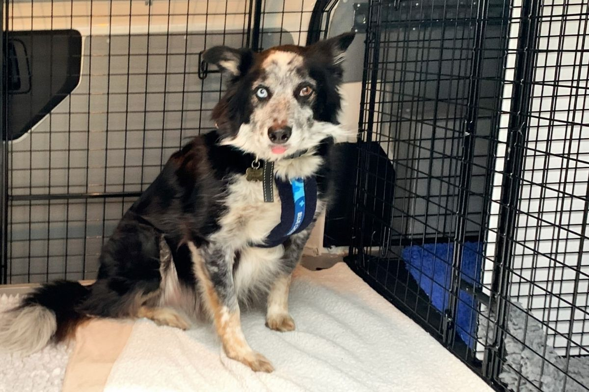 black and white dog sits in blue cross ambulance cage
