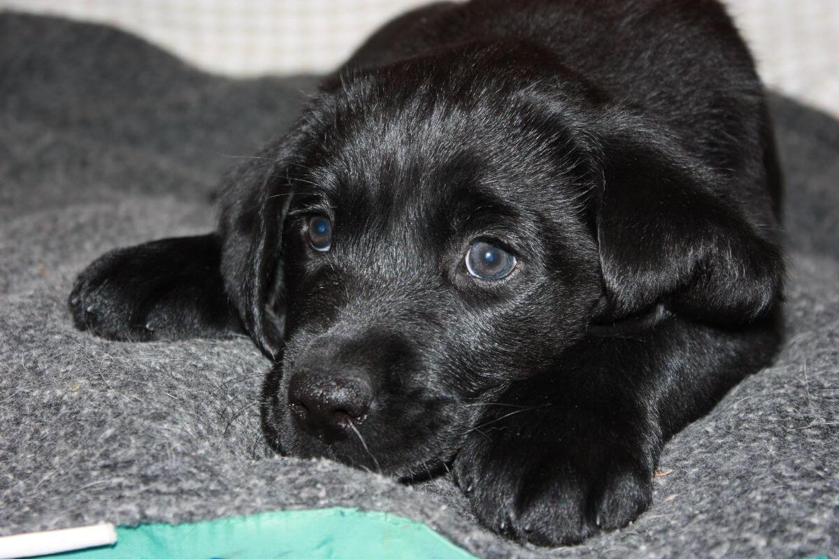juno black labrador puppy lies on carpet
