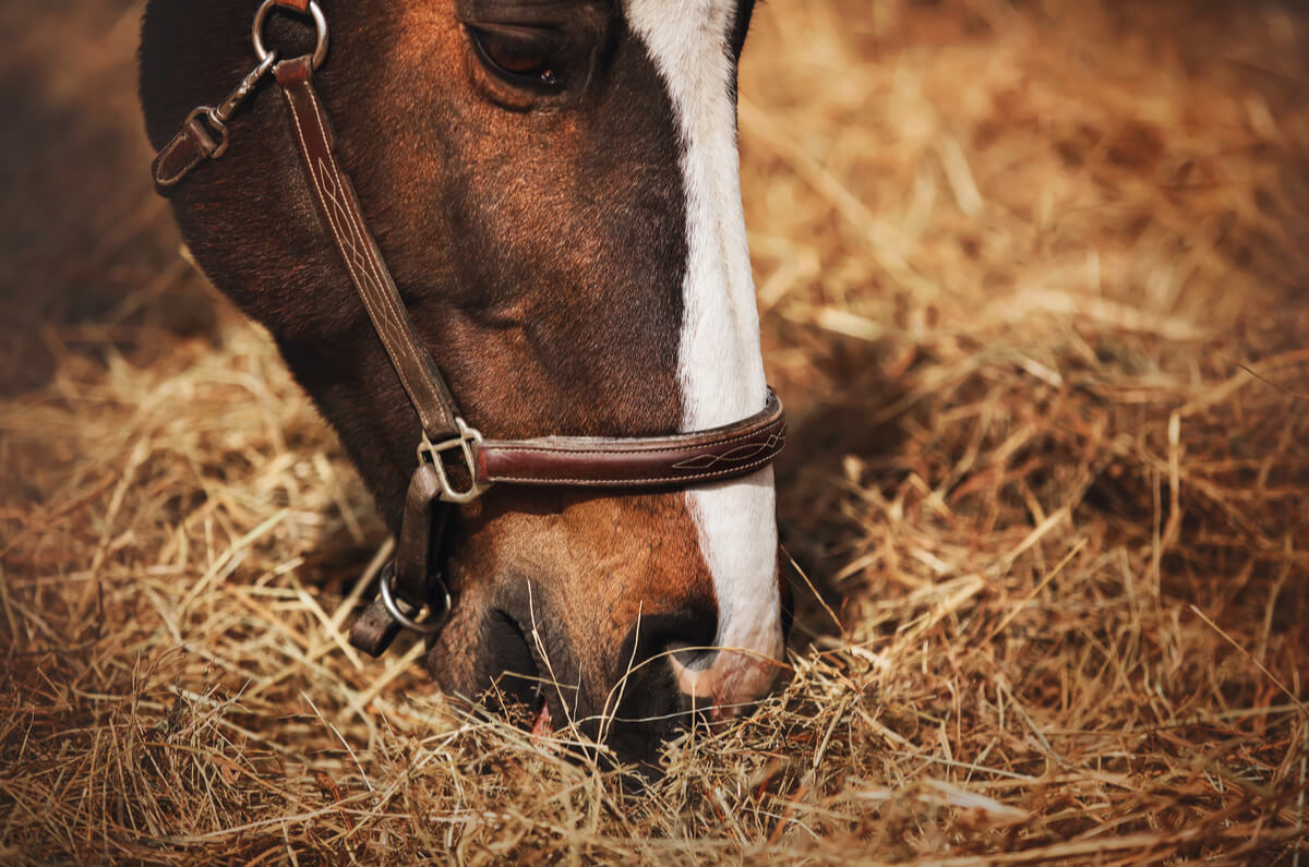 Mane chance hay appeal chestnut horse eats hay