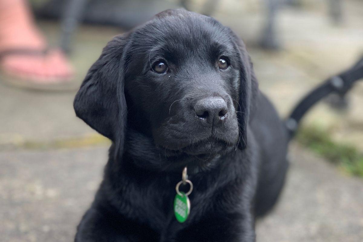 Dogs for Good black labrador puppy