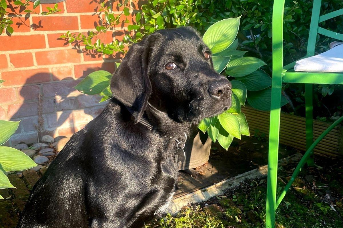 Black lab Juno sits on patio